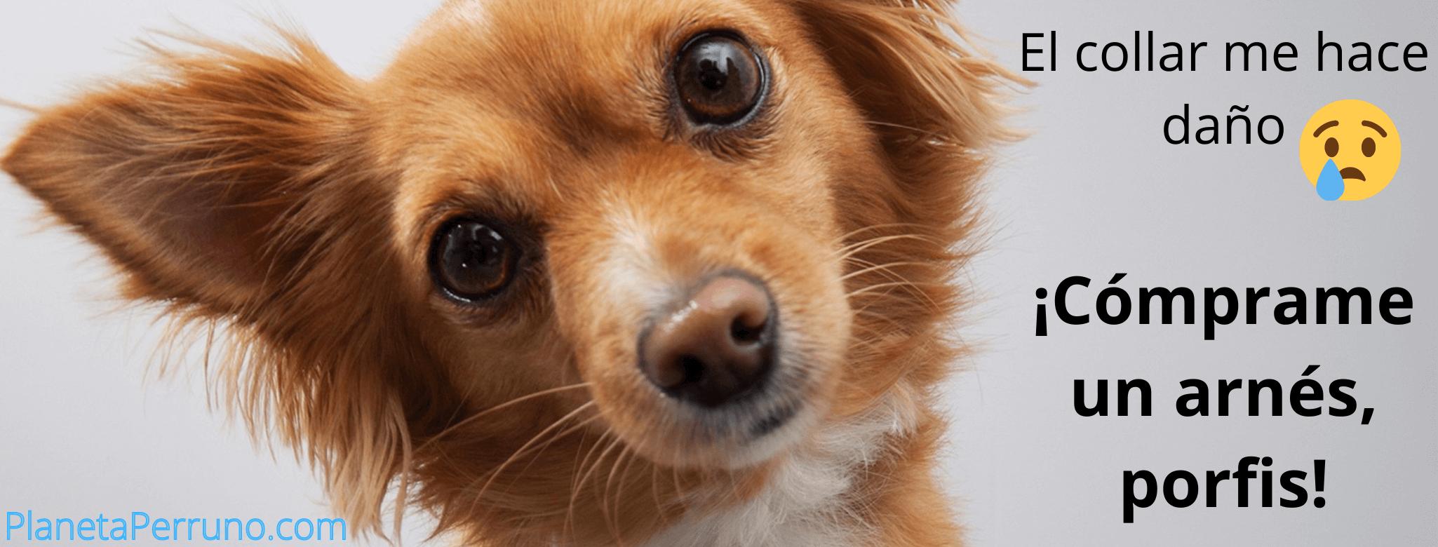 perro pidiendo un arnés en vez de una correa